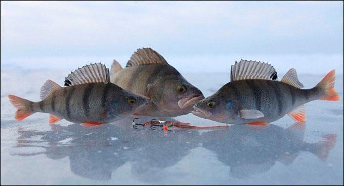 зимняя ловля окуня на блесну